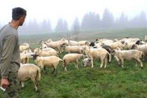 Stádo oviec. Pre bezbranné ovečksy si chodia vlky.