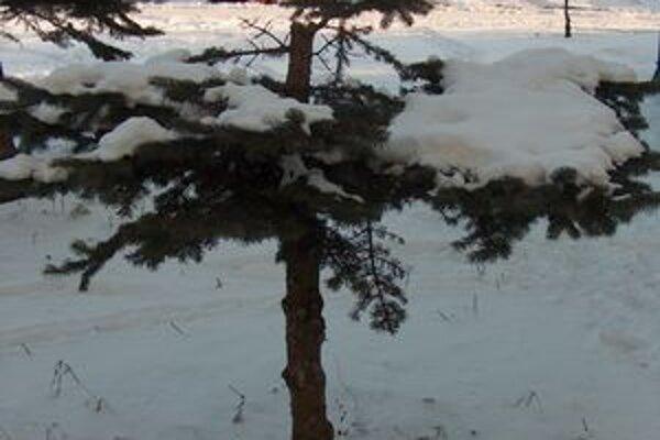 Spílený strom. Stal sa obeťou vandala.