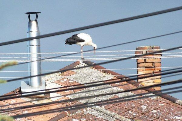 Bocian biely. Poletuje si po strechách v Milhostove.