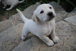 Pes. Jeho chovanie v Lipanoch vyjde drahšie ako vlani.