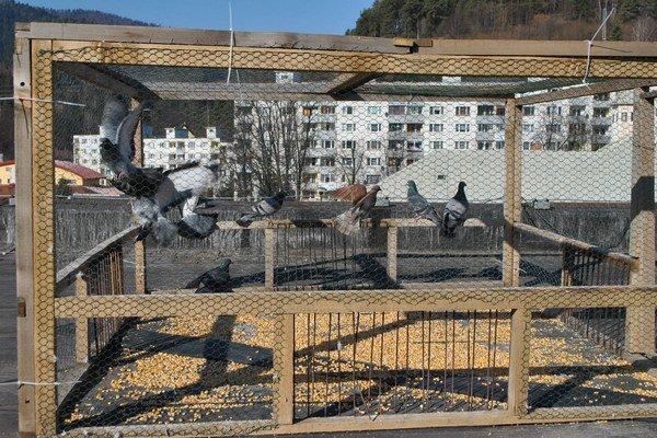 Niektoré mestá premnoženie voľne žijúcich holubov riešia ich odchytom.