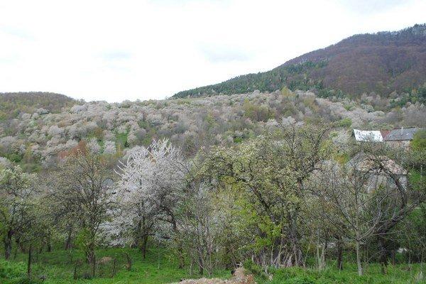 Čerešňová dedinka. V týchto dňoch je zaliata bielymi kvetmi.