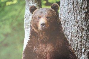 Medveď hnedý. Jeho výskyt sa rozšíril aj v Gemeri.