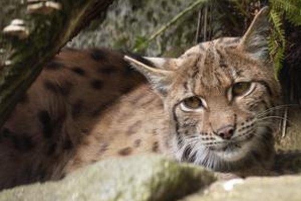 Rys ostrovid patrí k celoročne chráneným zvieratám, regulácia jeho stavov je problematická.