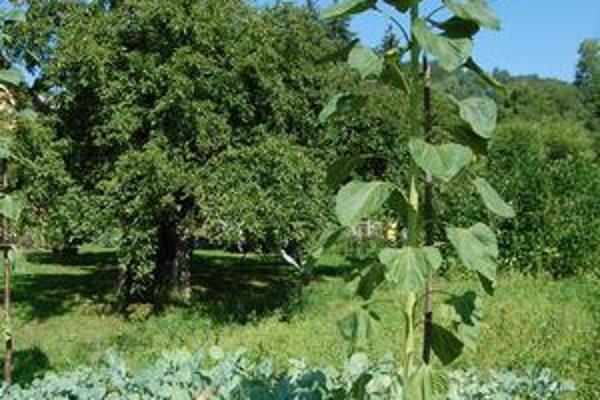 Slnečnica. Vnúčence pestovateľa, Ľuboško a Monika, sú v porovnaní s rastlinou úplní trpaslíci.