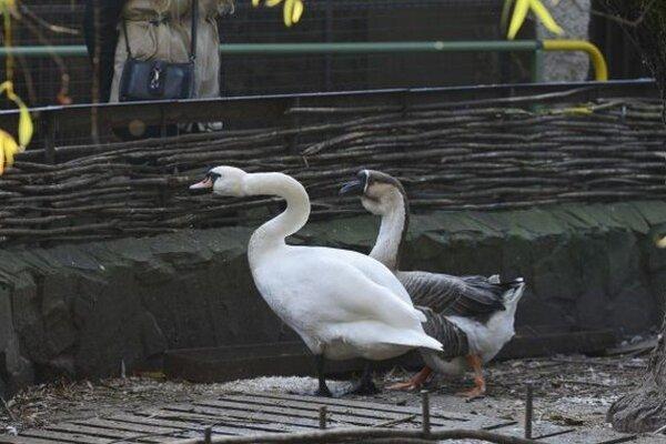 Na snímke labuť hrbozobá (vľavo) a hus labutia (vpravo) v ZOO parku v Stropkove.