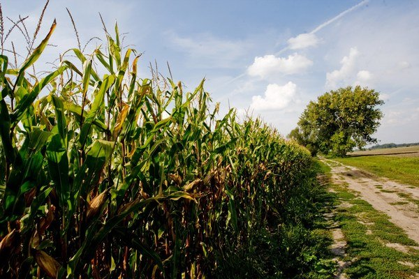 Firma zasiala kukuricu. Iná firma na tej istej ploche neskôr zasiala liečivé byliny.