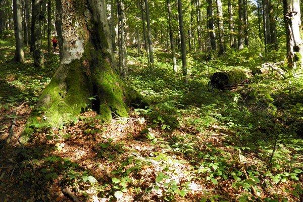 Karpatský bukový prales.