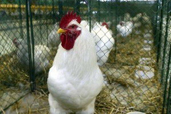 Hydinu, holuby a králiky bude možné vidieť v Nitrianskom Rudne 4. 10. od 8. do 17. h.