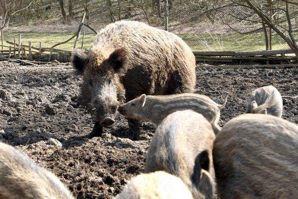 V Maďarsku sa objavujú prípady nakazených diviakov.