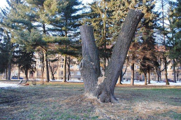 Vŕba v parku na Sídlisku I. Jej kmeň sa zmení na drevenú plastiku.