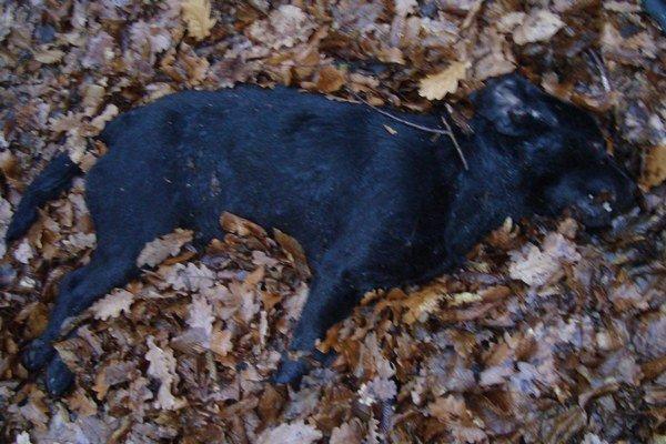 Utýraný pes. Deny zahynul na následky poranení hlavy a krvácania do mozgu. Mali ho dobiť traja mladíci.