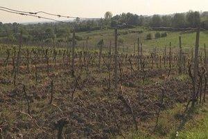 Vinica v Tibave. Vandal vysekal pri koreni 400 rastlín viniča.