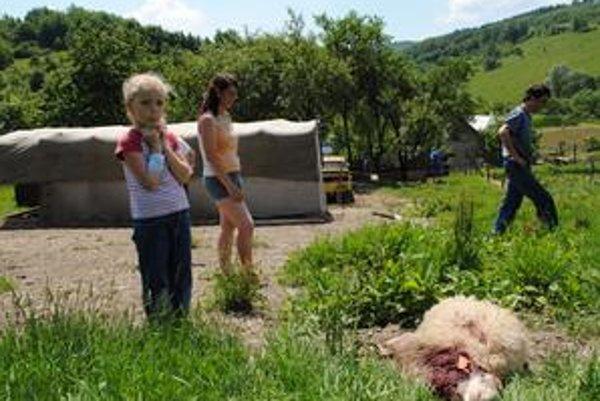 Tesne nad domom. Ficíkovci z obce Dedačov v okrese Humenné v utorok ráno nachádzali mŕtve ovce blízko svojho dvora. Na snímke Katarína Ficíková s dcérou Paťkou a Petrom Šimurdom. Ovce chovajú dva roky, ide o prvý útok vlka. Pred ním mali 65 oviec