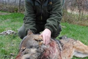 Ulovený vlk. Zastrelil ho Dušan Mackulin.