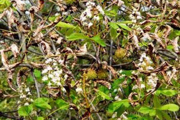Hnedne a kvitne zároveň. Z teplého počasia sa zbláznil aj tento pagaštan - súbežne s hnednutím listov začal kvitnúť.