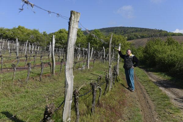 Regenerácia poškodených viničov môže trvať aj viac než rok.