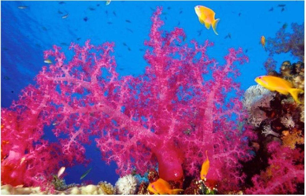 Koralové útesy v Červenom mori, Sudán