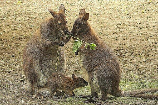 Kengury červenokrké. Majú nový prírastok.