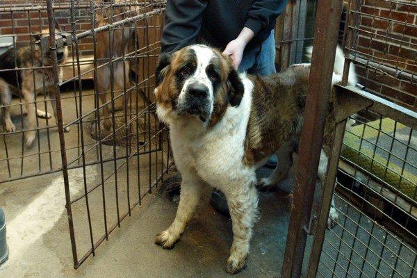 Medzi ukradnutými psami bol aj statný bernardín.
