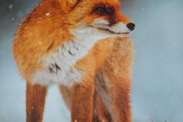 Líška obyčajná. V zimných mesiacoch sa sťahuje k príbytkom.