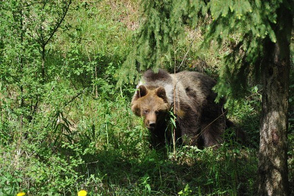 Medveď. Videli ho pri rekreačnej oblasti Zahura.