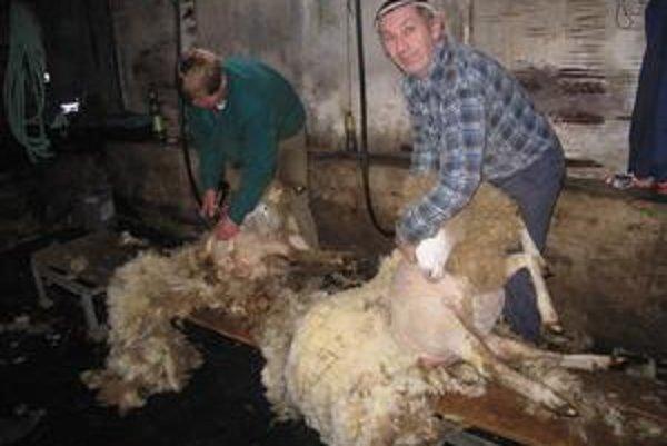 Ťažká drina. Ovce strihanie nebolí. Chlapi sa však pri tejto práci poriadne zapotia.