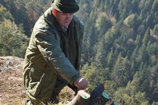 Strážca A. Holmok premeriava pne po vyťatých stromoch.