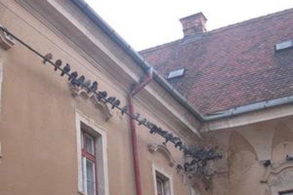 Desiatky holubov. Vysedávajú na elektrickom vedení pri Provinčnom dome.