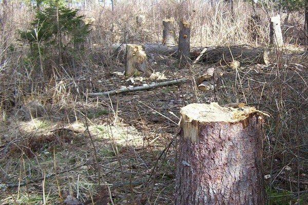 Hotová paseka. Takto vyzerajú lesy po nájazdoch osadníkov.