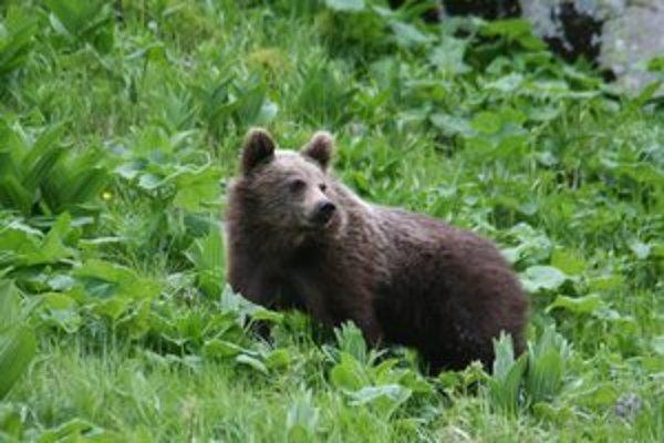 Zdravotný hendikep sa nepodpísal pod životaschopnosť medveďov.
