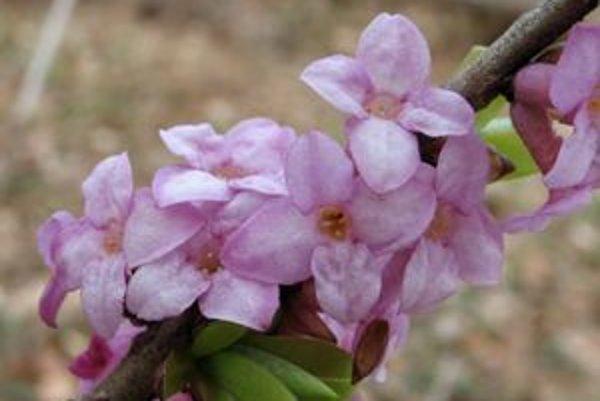 Lykovec patrí medzi prvé rastliny, ktoré kvitnú na jar.