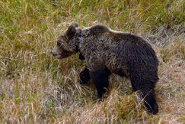 Medveď. Naša najväčšia šelma je rozšírená aj mimo Tatier.