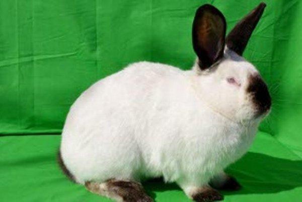 Víťazom oblastnej chovateľskej výstavy je kalifornský čierny králik.