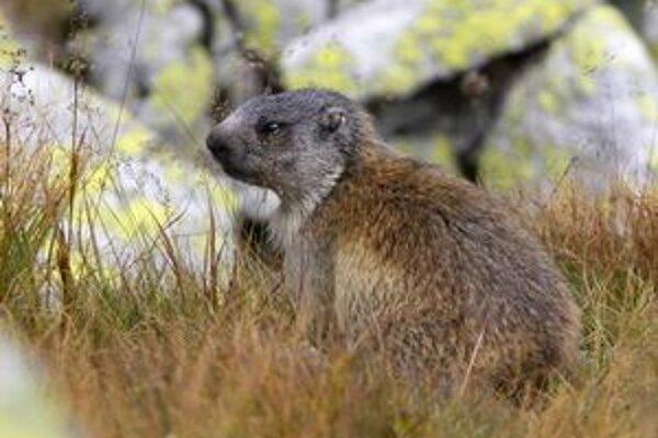 Genetické analýzy potvrdili jedinečnosť tatranskej populácie svišťa vrchovského.