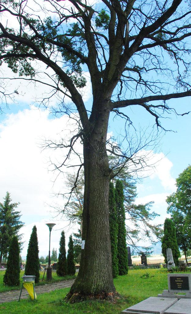 Vzácny dub na ivančinskom cintoríne začína vysychať.