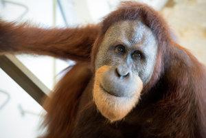 Orangutan Rocky mení to, ako sa pozeráme na vývoj ľudskej reči.