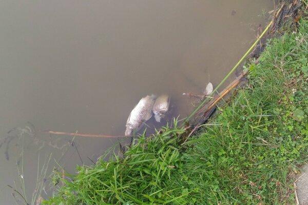 Uhynuté ryby zbierali z hladiny rybári aj rekreanti