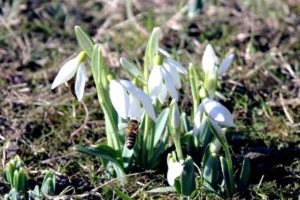 Snežienky už rozkvitli aj v Malinovej.
