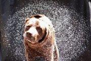 Sušiaci sa pes. Suší sa rotačnými vibráciami svojho trupu.