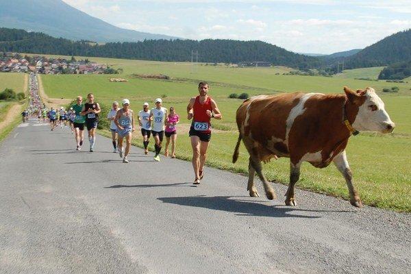 Krava vrchárka. Domáca pretekárka.