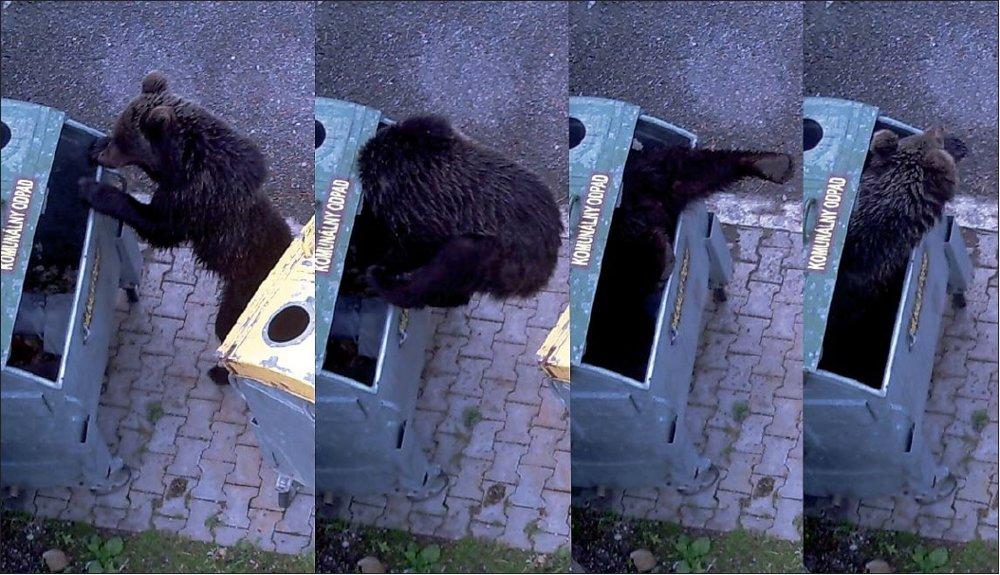 Mladý medveď pri prehľadávaní odpadkov.