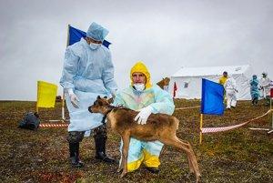 Tento rok na Jamale antrax zabil 2300 sobov. Na snímke veterinári pri kontrole.