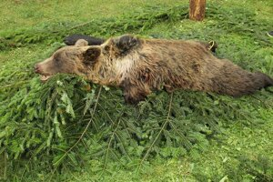 Na Hornej Orave odchytili medveďa. Chýbala mu jedna končatina.