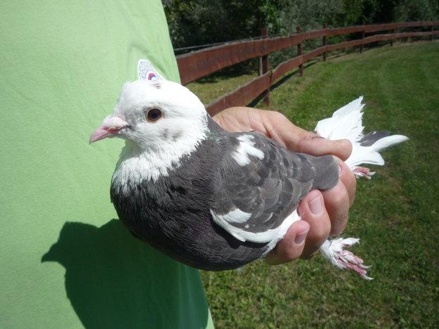 Akrobatické holuby sú obľúbeným plemenom.