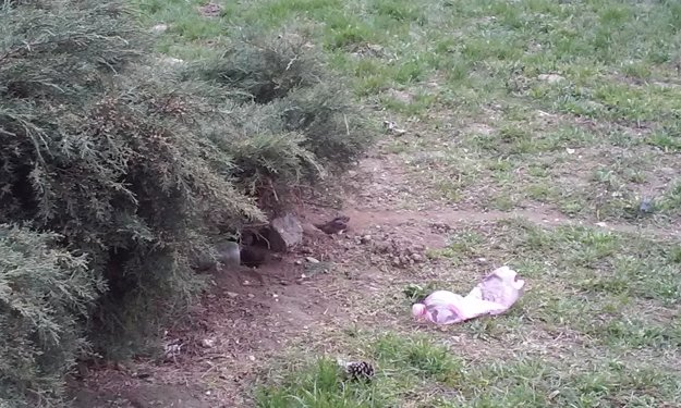 Prekvapenie z diery. Dva potkany čakajú, kým bude pokoj na jedlo.