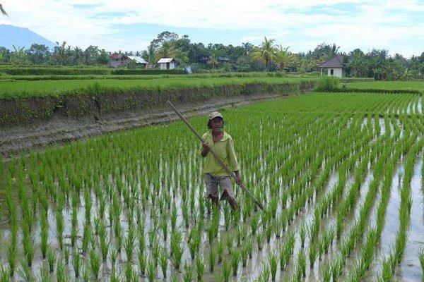 Pre mnohých Indonézanov je pestovanie ryže jediným živobytím.