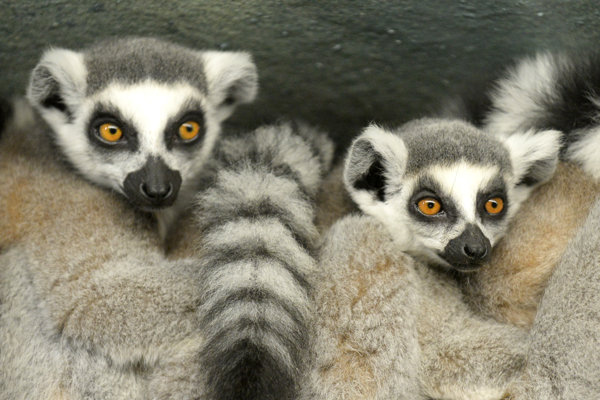 Do zoo pribudnú aj lemury