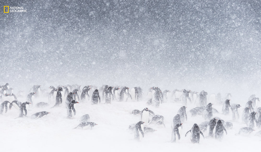 V BÚRKE. Zmena klímy na Antarktickom poloostrove spôsobuje častejšie snehové zrážky. Preto majú miestne tučniaky stres a problémy s rozmnožovaním. Kamienky na hniezdo sa im hľadajú ťažšie a hniezda si budujú neskôr. Daisy Gilardini/2016 National Geographic Nature Photographer of the Year