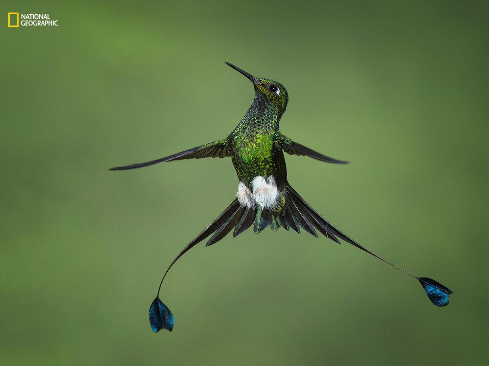 KOLIBRÍKOVA HVIEZDNA FORMÁCIA. Nie často je vidieť kolibríka s jeho chvostovými dúhovými pierkami. Amy Marques/2016 National Geographic Nature Photographer of the Year